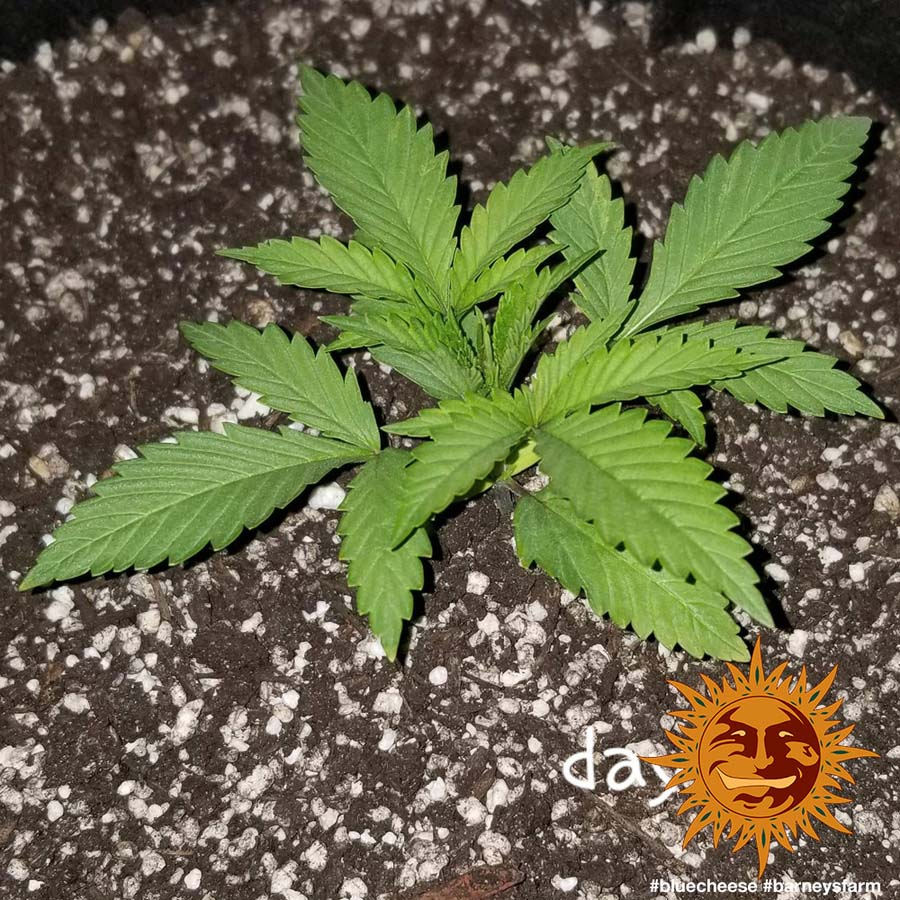 Top Cannabis Seeds South Africa